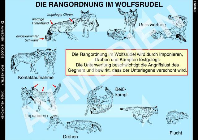 Wolfsrudel Rangordnung