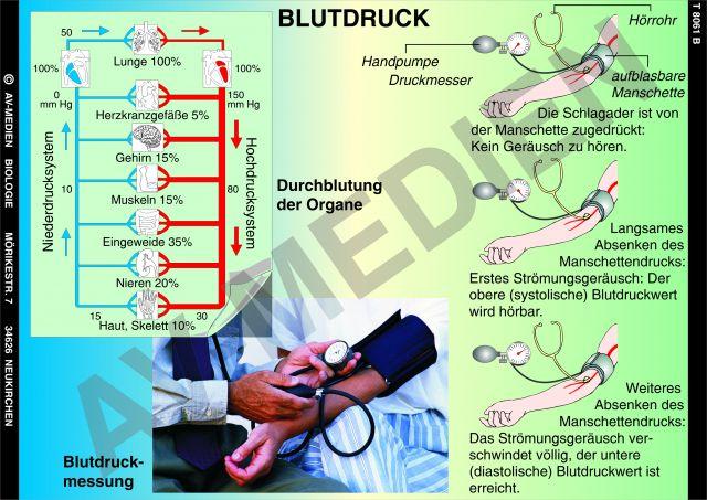 Blutbeförderung und blutdruck